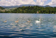 Cisnes en el lago sangrado foto de archivo libre de regalías