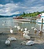 Cisnes en el lago Windermere Fotos de archivo