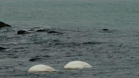 Cisnes en el mar almacen de metraje de vídeo