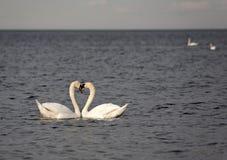 Cisnes en el mar Báltico. Fotos de archivo libres de regalías