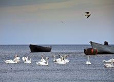 Cisnes en el mar Báltico. Foto de archivo