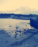 Cisnes en el Mar Negro, Rumania Foto de archivo