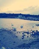 Cisnes en el Mar Negro, Rumania Imagenes de archivo