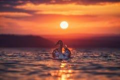 Cisnes en el mar y la puesta del sol hermosa Foto de archivo