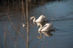 Cisnes en el Neckar Fotografía de archivo libre de regalías