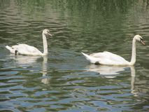 Cisnes en el río Imágenes de archivo libres de regalías