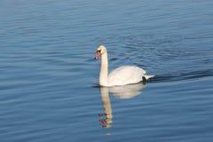 Cisnes en el río Foto de archivo libre de regalías