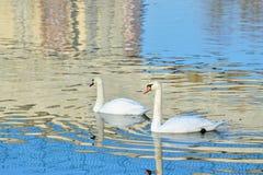 Cisnes en el río Fotos de archivo libres de regalías