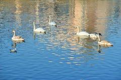 Cisnes en el río Imagen de archivo libre de regalías