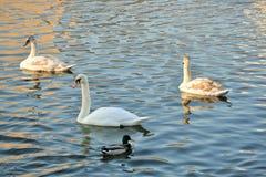 Cisnes en el río Fotografía de archivo