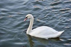 Cisnes en el río Foto de archivo