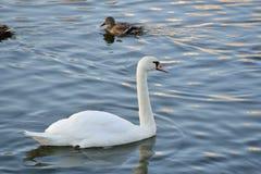 Cisnes en el río Imagen de archivo