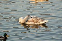 Cisnes en el río Imagenes de archivo