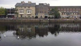 Cisnes en el río almacen de video