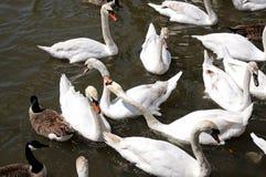 Cisnes en el río Avon, Stratford-sobre-Avon Foto de archivo