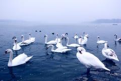 Cisnes en el río Danubio Foto de archivo libre de regalías