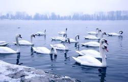 Cisnes en el río Danubio Fotografía de archivo
