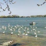 Cisnes en el río Danubio Imagenes de archivo