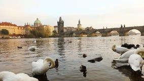 Cisnes en el río de Moldava, cisnes en Praga, visión, granangular panorámicos, vista de la ciudad vieja y Charles Bridge a través almacen de video
