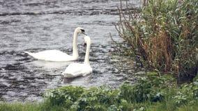 Cisnes en el río en la lluvia almacen de metraje de vídeo
