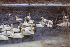 Cisnes en el río en invierno Foto de archivo libre de regalías