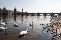 Cisnes en el río y Charles Bridge Imagen de archivo libre de regalías