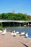 Cisnes en el riverbank, Burton sobre Trent imagen de archivo