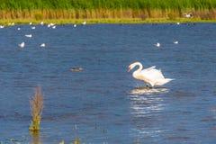 Cisnes en el salvaje dentro de una reserva de naturaleza fotografía de archivo libre de regalías