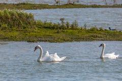 Cisnes en el salvaje dentro de una reserva de naturaleza imagen de archivo