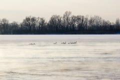 Cisnes en invernada Foto de archivo