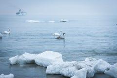 Cisnes en invierno Fotos de archivo