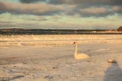 Cisnes en invierno Fotos de archivo libres de regalías