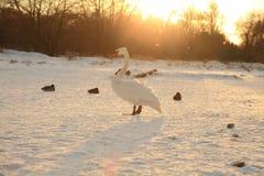 Cisnes en invierno Imagen de archivo libre de regalías