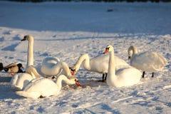 Cisnes en invierno Imagen de archivo