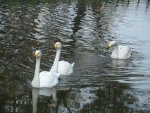 Cisnes en la charca Fotografía de archivo libre de regalías