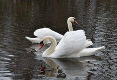 Cisnes en la charca Fotos de archivo