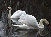 Cisnes en la charca Imagen de archivo libre de regalías