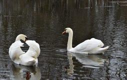 Cisnes en la charca Foto de archivo