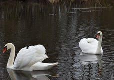 Cisnes en la charca Fotografía de archivo