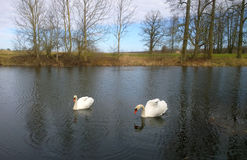 Cisnes en la charca Imagen de archivo