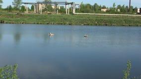 Cisnes en la ciudad almacen de metraje de vídeo