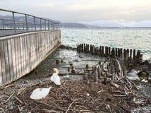 Cisnes en la costa Imágenes de archivo libres de regalías