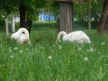 Cisnes en la hierba verde Imágenes de archivo libres de regalías