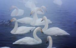 Cisnes en la niebla fotografía de archivo libre de regalías