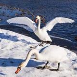 Cisnes en la orilla del río Imagenes de archivo