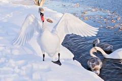 Cisnes en la orilla del río Fotografía de archivo