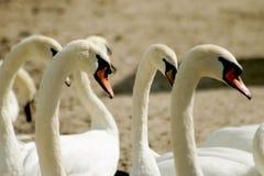 Cisnes en la playa Fotografía de archivo