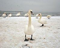 Cisnes en la playa Imágenes de archivo libres de regalías