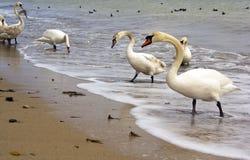 Cisnes en la playa Imagenes de archivo