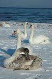 Cisnes en la playa Foto de archivo libre de regalías